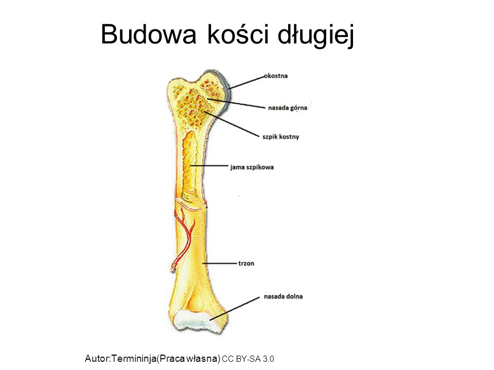 Budowa kości długiej Autor:Termininja(Praca własna) CC BY-SA 3.0 (http://creativecommons.org/licenses/by-sa/3.0)], Wikimedia Commons.